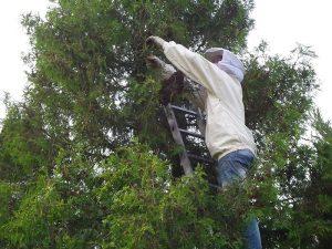 Hubert Burgstaller beim Fangen eines Bienenschwarms